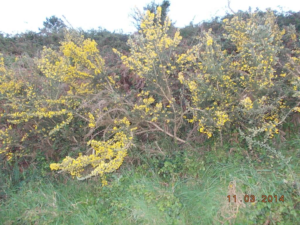 este arbusto destacase pelas suas flores amarelas que aparecem na primavera o fruto uma vagem achatada preta densamente peluda que tem dentro a