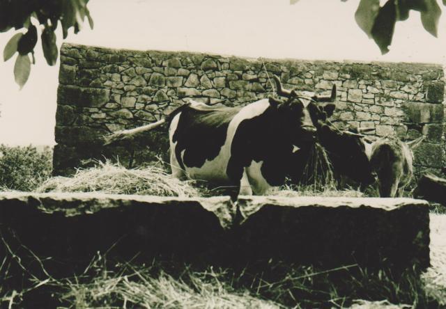 Entrada para curral de animais, Vacas e burro, nos Casais dos Vales