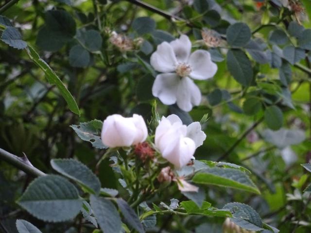 Roseira Selvagem (3)