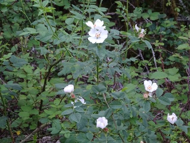Roseira Selvagem (4)