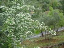 Espinheiros em Flor